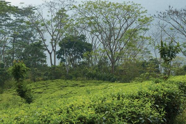 Dilmah creates a nature corridor