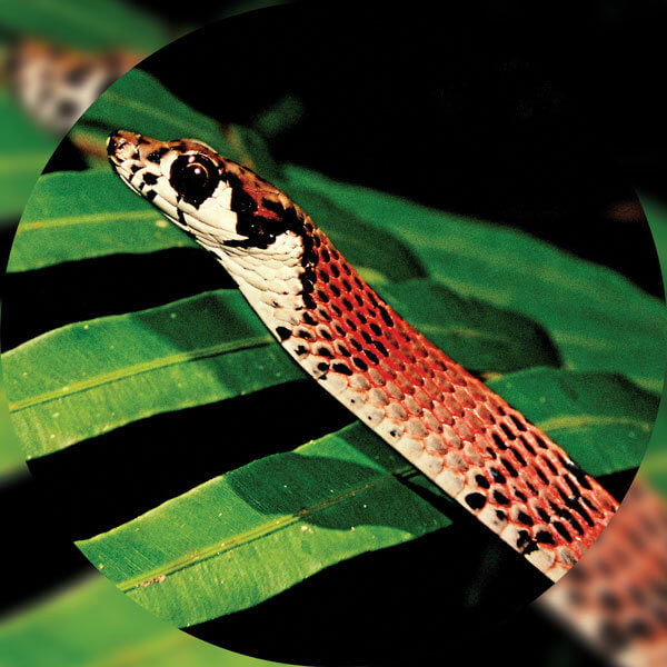 DC novel species program describes its first snake species (Dendrelaphis sinharajensis), and the discovers a species of Gecko (Cnemaspis rajakarunai).