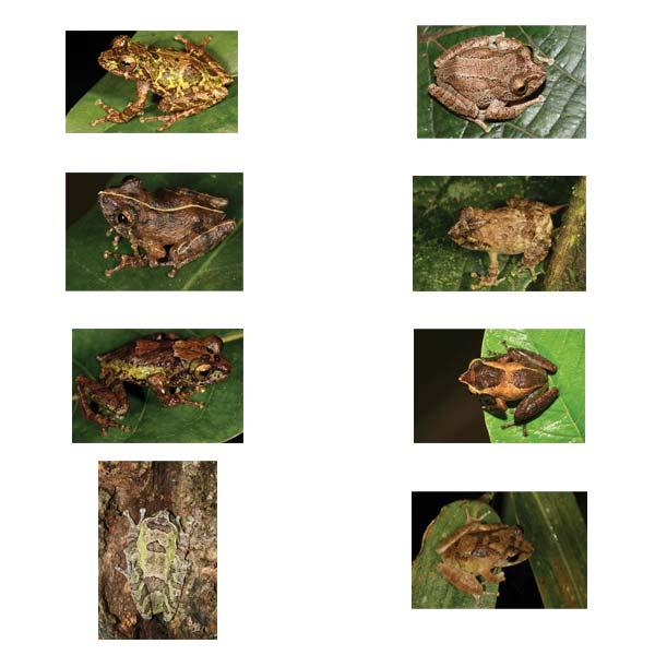 8 new species of frog discovered under DC's Novel Species program