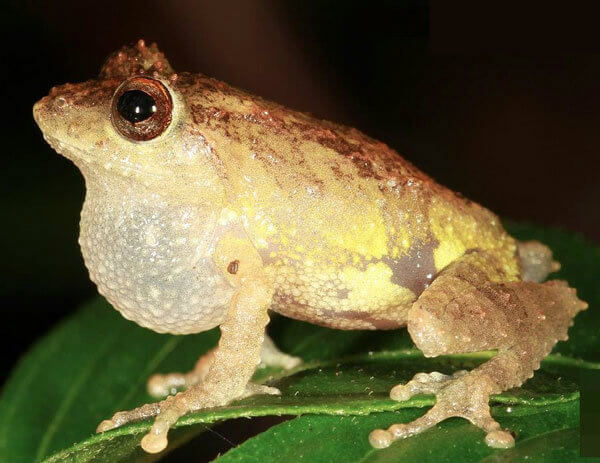 2015 - New species of shrub frog named after Dilmah, Pseudophilautus dilmah