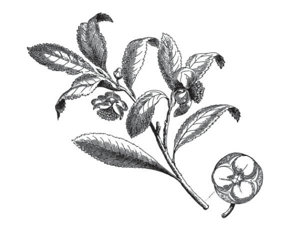 First tea seeds arrive from Assam at Ceylon's Royal Botanic Gardens at Peradeniya